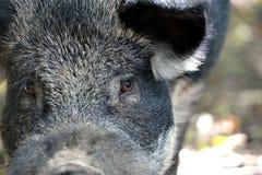 野公猪画象在秋天森林里 免版税库存图片