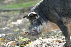 野公猪画象在秋天森林里 免版税图库摄影