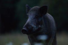 野公猪画象 库存图片