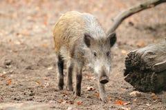 野公猪 免版税库存图片