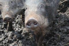 野公猪 库存图片