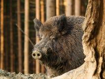 野公猪- SU scrofa头-在秋天森林里 图库摄影
