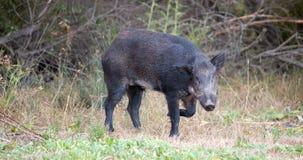 野公猪(SU scrofa)在戒备;圣塔克拉拉县,加利福尼亚,美国 库存图片