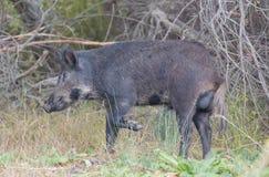 野公猪(SU scrofa)在戒备;圣塔克拉拉县,加利福尼亚,美国 图库摄影