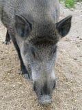 野公猪(SU scrofa)头特写镜头 图库摄影