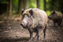 野公猪(SU scrofa) 免版税库存图片