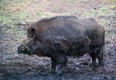野公猪(SU scrofa) i 免版税库存图片