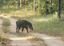 野公猪Kanha国立公园,中央邦,印度 免版税库存图片