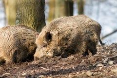 野公猪SU在搜寻食物的木头的scrofa scrofa 库存照片