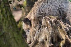 野公猪SU在搜寻食物的木头的scrofa scrofa 免版税库存照片