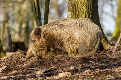 野公猪SU在搜寻食物的木头的scrofa scrofa 免版税库存图片