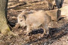 野公猪SU在木头的scrofa scrofa 库存照片