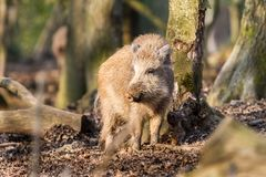 野公猪SU在木头的scrofa scrofa 库存图片