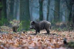 野公猪SU scrofa在冬天落叶林里 图库摄影