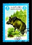 野公猪SU scrofa,动物serie,大约1984年 免版税库存照片