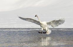 野天鹅在池塘登陆在杰克逊Hole怀俄明 库存图片