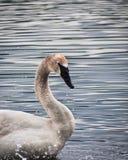 野天鹅在湖在一多云天II 免版税图库摄影