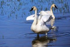 野天鹅在黄石国家公园,怀俄明 免版税库存照片
