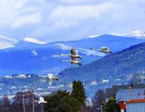 野天鹅天鹅座颊肌飞行的Skagit谷华盛顿 库存照片