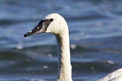 野天鹅游泳的图象在湖 免版税库存图片