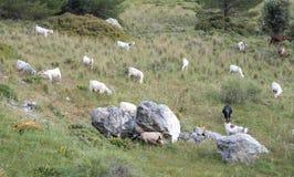 野山羊动物 免版税库存图片