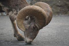 野山羊哺养 免版税库存图片