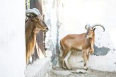 野山羊在托泽尔动物园里 免版税库存照片