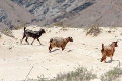 野山羊在阿曼沙漠 免版税库存图片