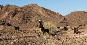 野山羊在阿曼沙漠 库存图片