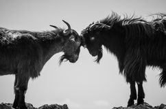 野山羊夫妇 免版税库存照片