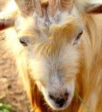 野山羊, Yomitan村庄,冲绳岛日本 免版税库存照片