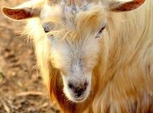 野山羊, Yomitan村庄,冲绳岛日本 库存照片