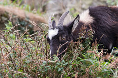 野山羊(山羊属aegagrus) 库存图片