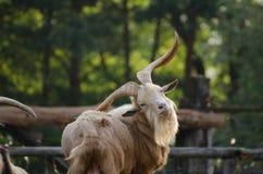 野山羊 免版税图库摄影