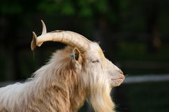 野山羊 库存照片