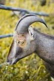 野山羊 免版税库存照片