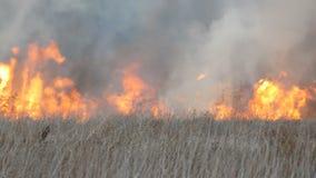 野火或风暴火在森林干草原 巨额干草火焰高在火焰 燃烧的矮树丛,草 股票录像