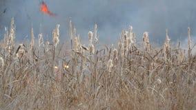 野火或风暴火背景在森林干草原 巨额干草火焰高在火焰 烧 股票视频