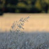 野燕麦在普罗旺斯 免版税库存图片