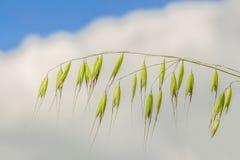 野燕麦 免版税库存图片