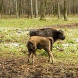 野牛、幼小动物在森林里欧洲北美野牛北美野牛bonasus,亦称欧洲野牛或者欧洲木北美野牛,俄罗斯 库存图片