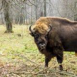 野牛在森林里欧洲北美野牛北美野牛bonasus、亦称欧洲野牛或者欧洲木北美野牛,俄罗斯 库存照片