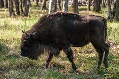 野牛 免版税图库摄影