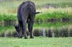 野牛Potrait在牧场地的从后面,饮用水 库存图片