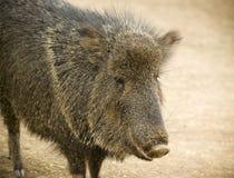 野猪的关闭,并且称Javelina 库存照片