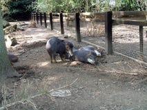 野猪 标枪 臭鼬猪 野猪在一个动物园或徒步旅行队公园里在英国 库存图片