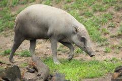 野猪 免版税图库摄影