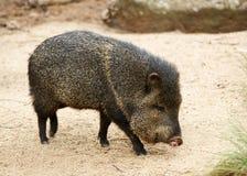野猪 免版税库存图片