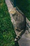 野猫在动物园里 逗人喜爱的野生动物 动物园,动物区系 免版税库存照片