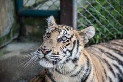 野猫在老虎王国 库存照片